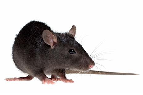 Patkányirtás