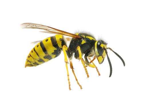 Mi a különbség a méhek és a darazsak között?