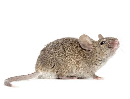 Fertőző agyhártyagyulladást okozhatnak az egerek