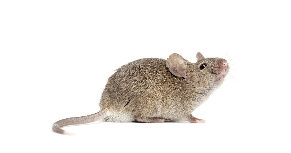 Az egerek felelősek a fertőző agyhártyagyulladásért