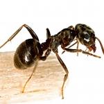 Fekete kerti hangya: Az Egyesült Királyságban őshonos faj, amely táplálékot keresve szívesen bukkan fel épületekben.
