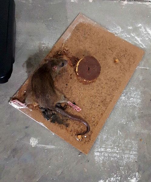 Patkányirtás ragasztólapos csapdával