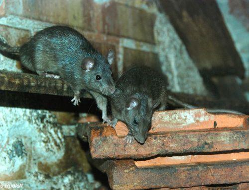 A patkányirtás leghatásosabb módszerei