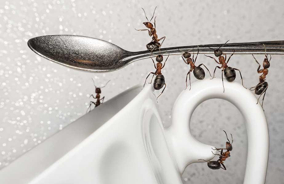 A cukor kiváló módszer lehet a hangyák otthoni irtására