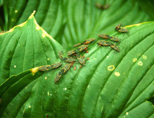 A leggyakoribb kártevők a szobanövényeken