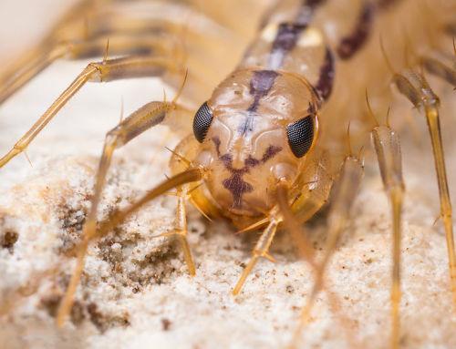 Mennyire kell rettegnünk a légyölő pókszázlábútól?