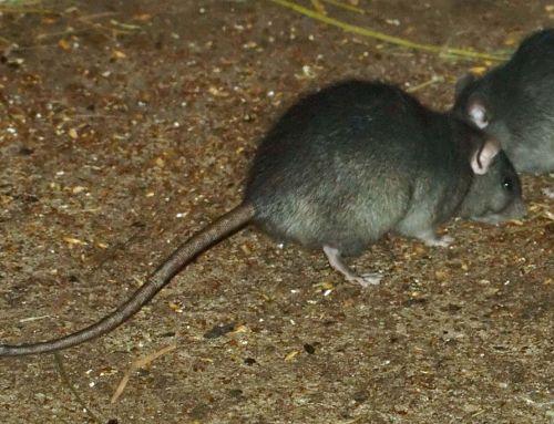 Hatalmas a patkányinvázió Budapesten