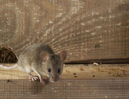 Jön a tavasz, ébredeznek az egerek