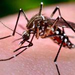 Gyötrő szúnyog