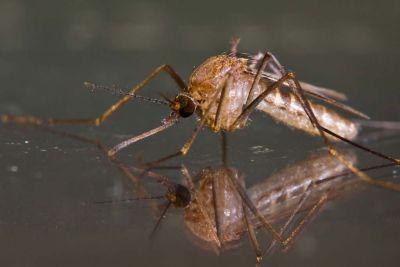 Házi szúnyog